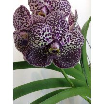 Ascocenda Kulvadee Purple Fragrance
