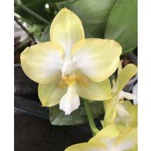 "Phalaenopsis Jadegreen Sweet K.S ""Yellow"""