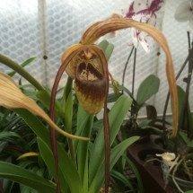 Phragmipedium popowii