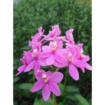 Epidendrum radicans 'PInk'4N