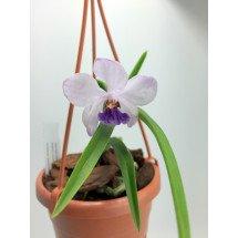 Holcoglossum wangii x Vanda coerulea