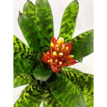 Aechmea orlandiana ''Big'' Clumb