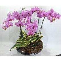 Dtps.Minho Princess`S.J Pink x Doritaenopsis Sogo Vivien `Golden Vivien`