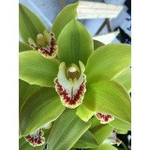 Cymbidium happy days green dragon