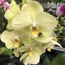 Phalaenopsis Pure Moon 'Green Pixie'