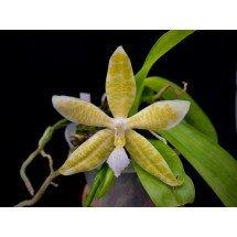 Phalaenopsis hieroglyphica alba 4N