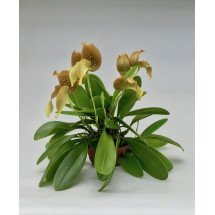"Bulbophyllum grandiflorum ""Big"""