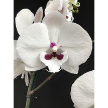 Phalaenopsis Yushan Mammon Island 'Moustache'  (Chian Xem Mammon x Yu Pin Easter Island)