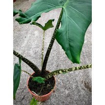 "Alocasia zebrina ""Compacte Type, With Broad Leaves"""
