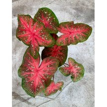 "Caladium ""Red Flash"""
