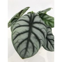 Alocasia Silver Dragon (Big Plant)