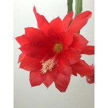 "Epiphyllum ackermannii ""Red"" ""Big"""