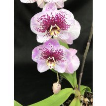 Phalaenopsis Moonlight 'Purple Shaper'