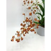 Oncidium Twinkle Border Red /Dark Orange
