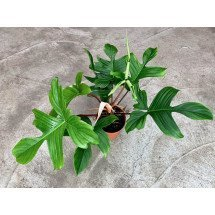 "Philodendron ""Florida Green """