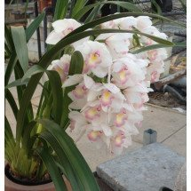 "Cymbidium Lovely Smile ""Angel Feather"""