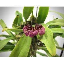 Bulbophyllum concinnum