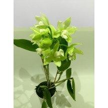 Cattleychea Siam Jade `Light Green Selection`
