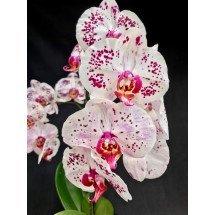 Phalaenopsis Gan Lin GaGa 'Fantastic'