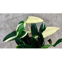 Philodendron standleyana white variegated