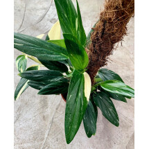"""Philodendron standleyana variegated """"Big Plant ''"""