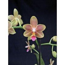 Doritaenopsis Little Peach x Phalaenopsis Hybrid speciale Smell