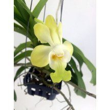 Vanda denisoniana 'Yellow'