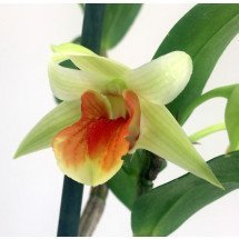 Dendrobium Hiroshi `D.Cruentum x D.virginii)