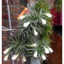 Tillandsia aeranthos var. alba