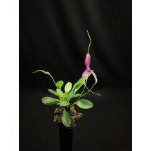 Masdevallia setacea  ''special dark, unique selection''