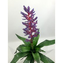 "Aechmea Blue Rain ""Big"""