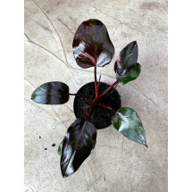 Philodendron Pink Princess (not much pink in on the moment)