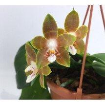 """Phalaenopsis venosa """"Big Plant"""""""