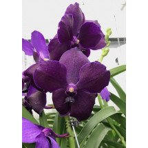 "Vanda Robert Delight ''Violet Black Butterfly"""