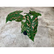 "Caladium Painted Frog ""Poison Dart Frog"""