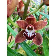 Cymbidium Peito Lake