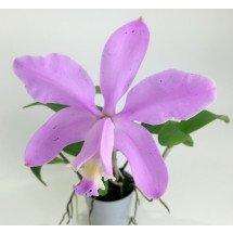 Cattleya loddigesii punctata