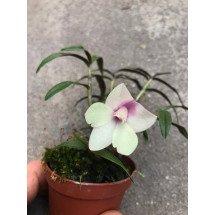 """(Den. glomeratum x cuthbersonii) x Den. agathodaemonis """"Pink"""""""