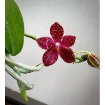 Phalaenopsis Yaphon In Taiwan