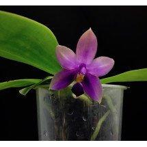 Phalaenopsis Samera