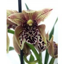 "Cymbidium Vogel`s Magic x Cym. Spotted Freak ""Big"""