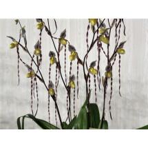 """Paphiopedilum philippinense """"long petal"""""""