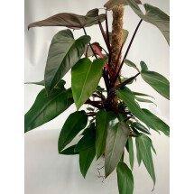 """Philodendron Mandianum """"Big Plant"""""""