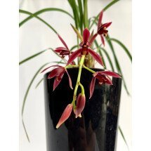Cymbidium dayanum red