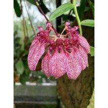 Bulbophyllum abbreviatum