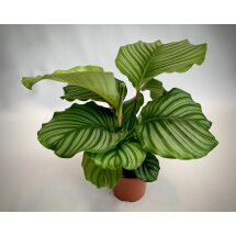 Calathea Orbifollia ''Big Plan'''