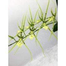 Brassia (verrucosa x maculata) x verrucosa