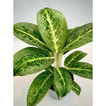Aglaonema Key Lime