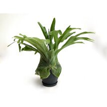 """Platycerium grande """"Big Plant"""""""