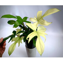 """Philodendron """"Florida Ghost/Green"""""""